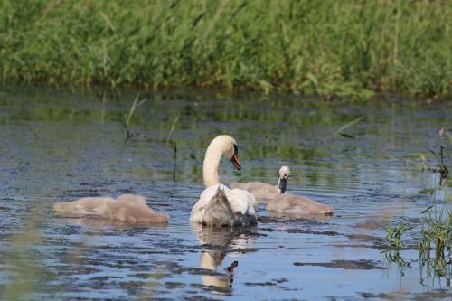 Cygnes à l'étang Cistude